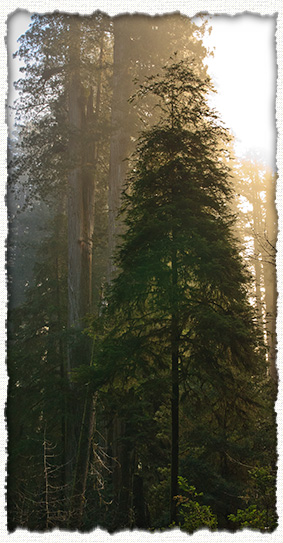 Coast Redwoods near Stout Grove - image courtesy J.M.Renner