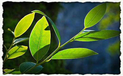 California Bay Laurel (myrtle) - image courtesy J.M.Renner
