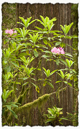 Rhododendrons and Coast Redwoods - image courtesy J.M.Renner